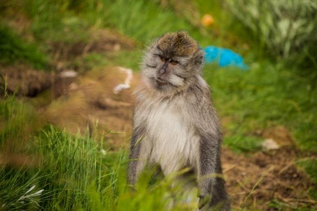 Mount Rinjani monkey