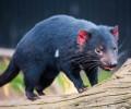 Tasmania's Unique Wildlife