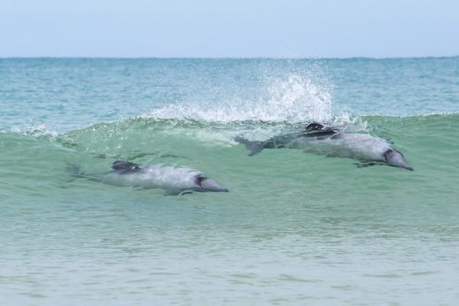 curio bay dolphin